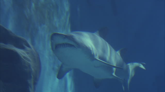 close angle underwater of a grey nurse shark swimming along wall in aquarium. aka sand tiger shark. - sand tiger shark stock videos and b-roll footage