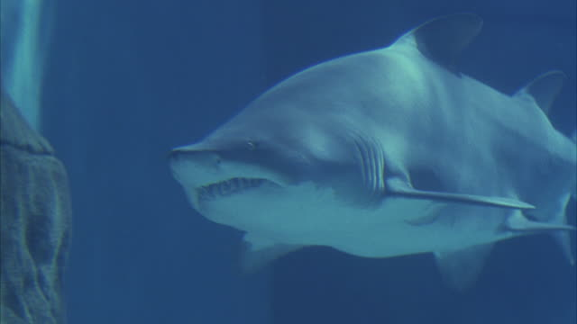 close angle underwater of front side of grey nurse shark, aka sand tiger shark, exposing its sharp teeth. shark begins to swim to the right in large aquarium fish tank with rock in bg. close-up on body of shark as it swims away to the right. - sand tiger shark stock videos and b-roll footage