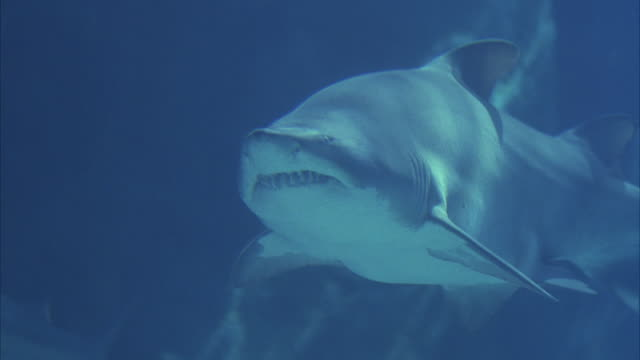 close angle underwater of front side of grey nurse shark, aka sand tiger shark, exposing its sharp teeth. swimming among other sharks. shark begins to swim to the right in large aquarium fish tank with rock in bg. close-up on body of shark as it swims awa - sand tiger shark stock videos and b-roll footage