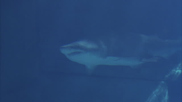 close angle underwater of front side of grey  nurse shark exposing its sharp teeth. shark swimming next to large rock then begins to swim to the right in large aquarium fish tank. aka sand tiger shark. - sand tiger shark stock videos and b-roll footage