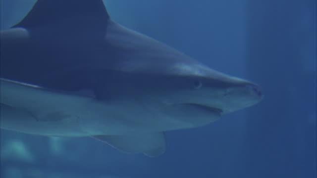 close angle underwater of grey nurse shark swimming in large aquarium fish tank. aka sand tiger shark. - sand tiger shark stock videos and b-roll footage