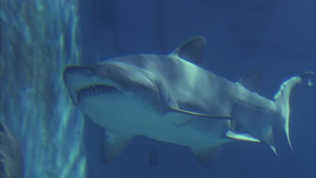 close angle underwater of a grey nurse shark swimming across aquarium from r-l. shark swims along wall of tank. aka sand tiger shark. - sand tiger shark stock videos and b-roll footage