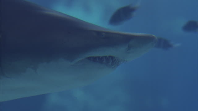 vidéos et rushes de close angle underwater on the nose of a grey nurse shark swimming around aquarium from l-r. shark swims past camera as it swims to another section of the aquarium. aka sand tiger shark. - aquarium établissement pour animaux en captivité