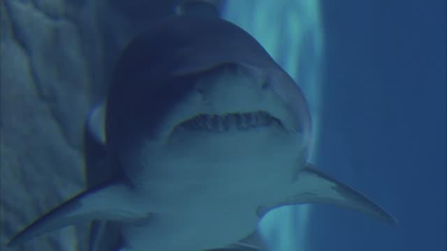 close angle underwater on  grey nurse shark as it swims around aquarium. shark turns right and swims past camera. aka sand tiger shark. - sand tiger shark stock videos and b-roll footage