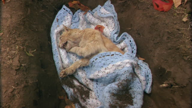 vídeos y material grabado en eventos de stock de high angle down of dead orange tabby cat wrapped in a blanket in a shallow dirt grave. pull back to show dead leaves, base of a wooden cross decorated with silk flowers. animals. - manta ropa de cama