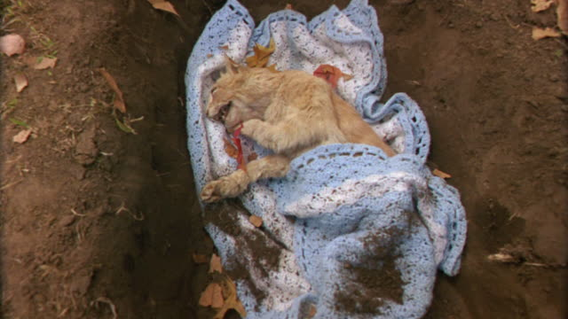 high angle down of dead orange tabby cat wrapped in a blanket in a shallow dirt grave. dead leaves cover the ground. animals. - filt bildbanksvideor och videomaterial från bakom kulisserna