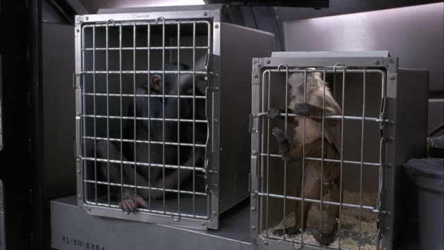 vídeos de stock e filmes b-roll de medium angle of two monkeys stuck in cages. see monkeys shaking cages. - jaula