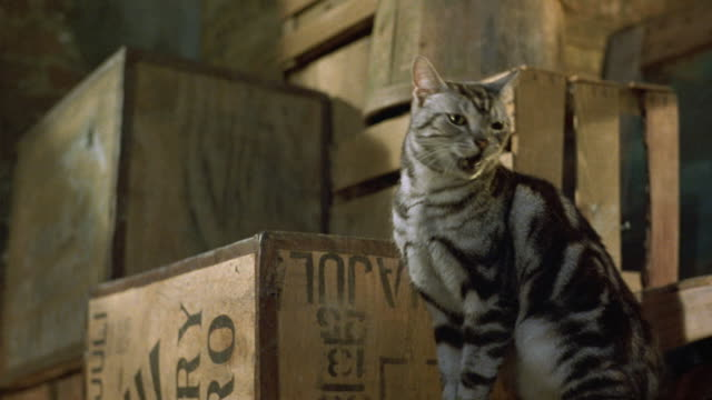 medium angle of gray cat with black stripes on wooden boxes or crates facing left. crates stacked on top of each other, could be warehouse. second gray cat jumps on crate on left and purrs. - schachtel stock-videos und b-roll-filmmaterial