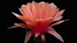 BLOOMING CACTUS FLOWER ECHINOPSIS OLD ROSE FLOWER 4K T/L