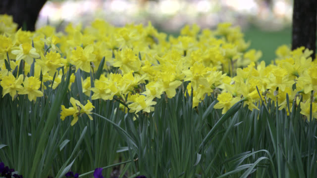 medium angle of daffodils and other flowers. could be in urban park. - daffodil stock videos & royalty-free footage