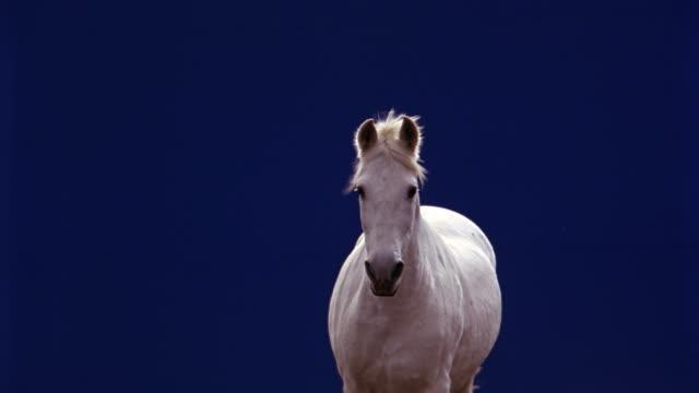 vídeos de stock e filmes b-roll de tracking shot of horse running in front of blue screen. animals. - cavalo família do cavalo