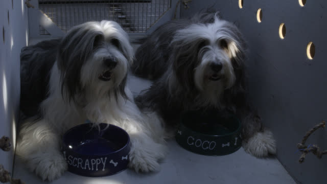 """medium angle of old english sheepdogs or bearded collies in wooden travel crate with dog food bowls labeled """"scrappy"""" and """"coco."""" barking, panting and resting. - panting stock videos & royalty-free footage"""