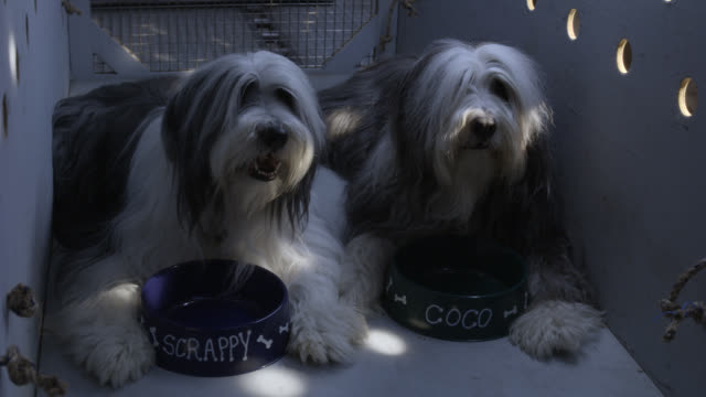 "MEDIUM ANGLE OF OLD ENGLISH SHEEPDOGS OR BEARDED COLLIES IN WOODEN TRAVEL CRATE WITH DOG FOOD BOWLS LABELED ""SCRAPPY"" AND ""COCO."" BARKING, PANTING AND RESTING. ANIMALS. PETS."
