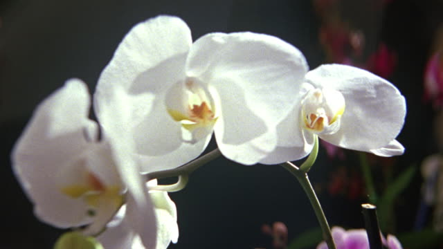 close angle shows white phalaenopsis orchid blossom seen through magnifying glass or lens. fingers manipulate lens causing image of flower to shudder as if  a reflected on surface of water. could be botanist or collector inspecting plant. - orchid stock videos & royalty-free footage