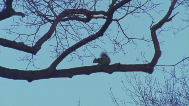 vídeos y material grabado en eventos de stock de up angle of a squirrel sitting on a bare tree branch. - bare tree
