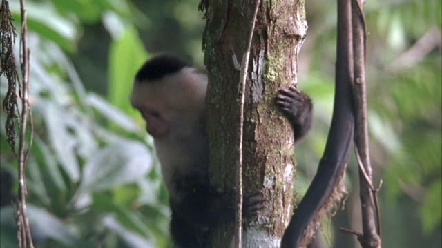 wide angle on black and white capuchin monkey on tree in jungle. monkey climbs down tree and jumps left onto another branch and walks off screen. - neuweltaffen und hundsaffen stock-videos und b-roll-filmmaterial