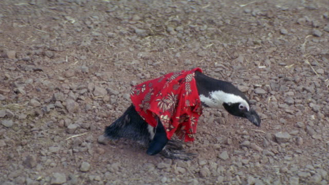 MEDIUM ANGLE. LOOKING DOWN ON PENGUIN WALKING AROUND ON DIRT ROAD. PENGUIN WEARING RED HAWAIIAN SHIRT. TRAINER COMES INTO SHOT MOMENTARILY.