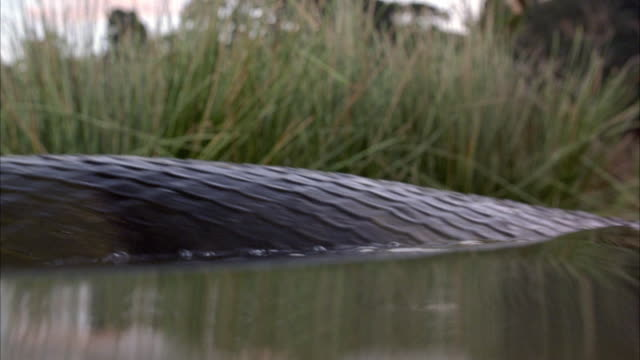 LOW CLOSE ANGLE TO SURFACE OF MURKY WATER. SEE LARGE ANACONDA SWIM BY THROUGH WATER. SNAKE SWIMS IN AND OUT OF WATER.