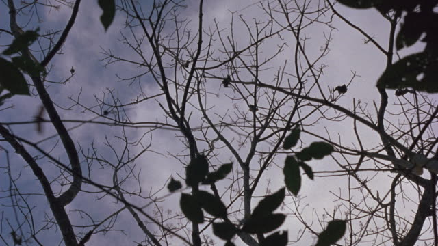 vidéos et rushes de est up angle on bats sitting on bare tree branches. see bats flying over tree tops. - bare tree
