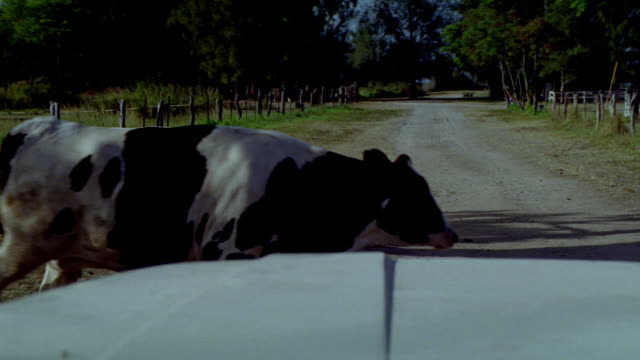 MEDIUM ANGLE. CAMERA INSIDE CAR. HOOD VISIBLE ON BOTTOM OF SCREEN. COW CROSSES ROAD. CAR SWERVES TO MISS COW.