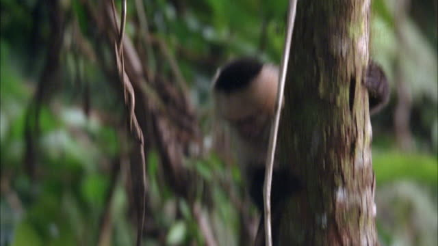 wide angle of black and white capuchin monkey climbing down a tree in jungle. monkey jumps onto another branch and runs from r-l. - neuweltaffen und hundsaffen stock-videos und b-roll-filmmaterial