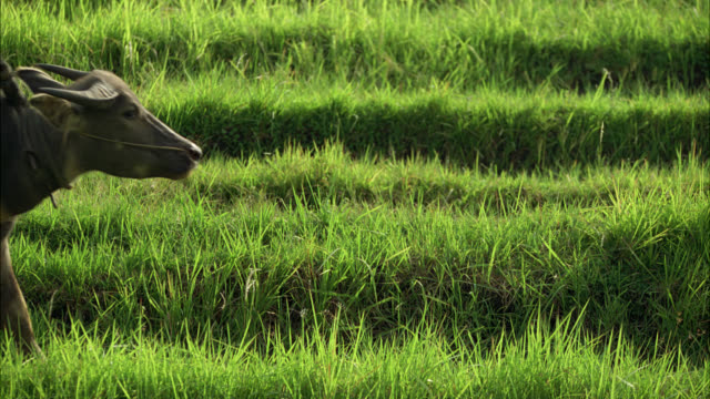 medium angle of ox pulling plow through rice paddies or fields. worker. farmland. countryside or rural area. - 牛車点の映像素材/bロール