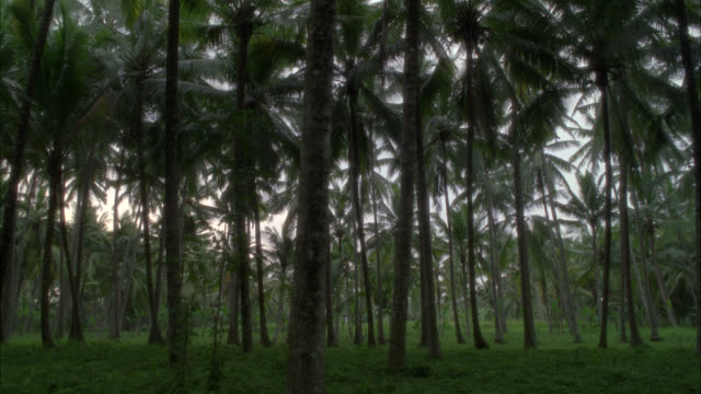 WIDE ANGLE OF TREES, PALM TREES IN TROPICAL RAINFOREST OR GROVE.