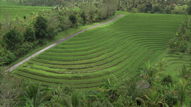AERIAL OF TERRACED RICE PADDIES OR FIELDS. FARMLAND IN COUNTRYSIDE OR RURAL AREA. PALM TREES AND TROPICAL PLANTS. SOUTHEAST ASIA. GREEN AND LUSH.