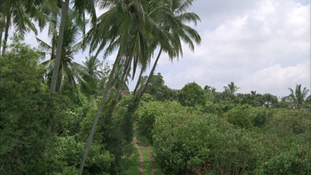 AERIAL OF PALM TREES AND TREES, TROPICAL PLANTS IN RURAL AREA OR COUNTRYSIDE.