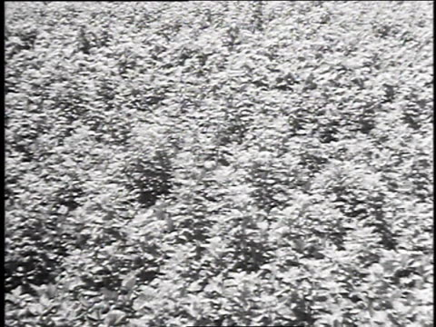 1940s montage farmers working in a field of mulberry bushes harvesting silk worms / japan - drei personen stock-videos und b-roll-filmmaterial