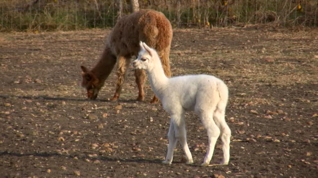 HD 1080i Alpaca Mother and Baby