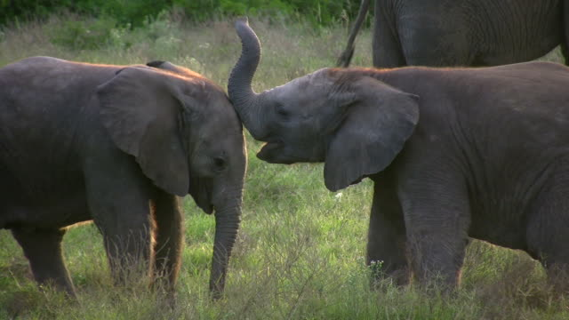 1080i baby elephants playing - animal family stock videos and b-roll footage