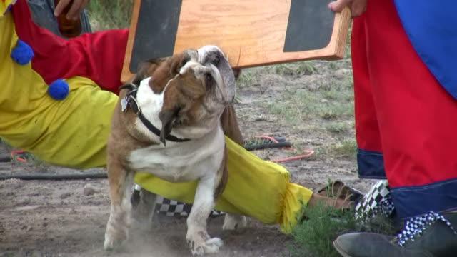 vídeos de stock, filmes e b-roll de hd 1080 i bulldog toca cabo de guerra com os dois palhaços - saliva de animal