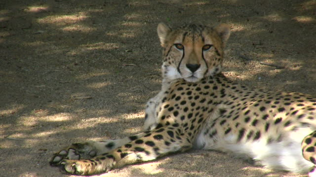 hd 1080 i gepard 1 - zoo stock-videos und b-roll-filmmaterial