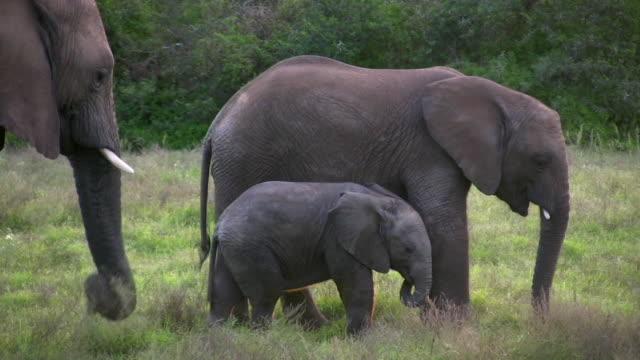 vidéos et rushes de 1080 i elephant les fa brouter dans la brousse de l'afrique du sud - petit groupe d'animaux