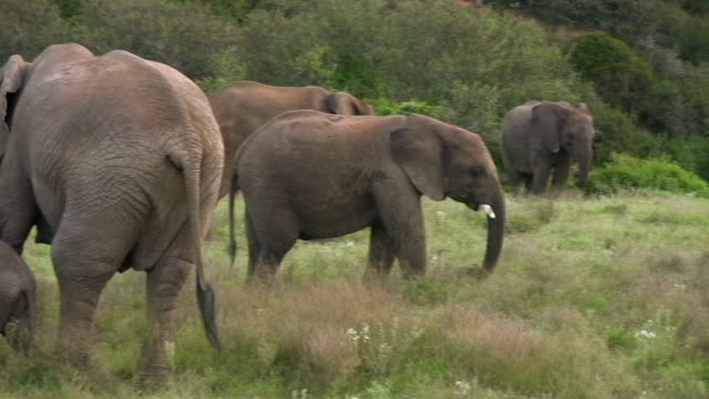 HD 1080i Elephants in South Africa 3