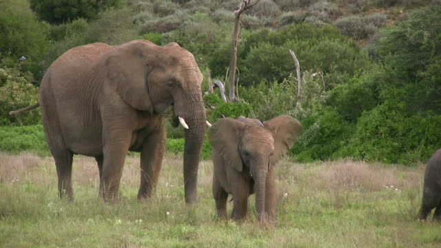 HD 1080i Elephants in South Africa 7