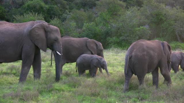 vidéos et rushes de 1080 i famille d'éléphants brouter à l'afrique du sud - petit groupe d'animaux