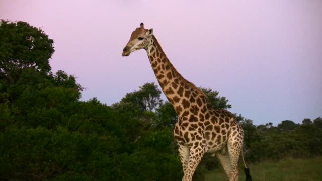 hd 1080i giraffe south africa - tall high stock videos and b-roll footage