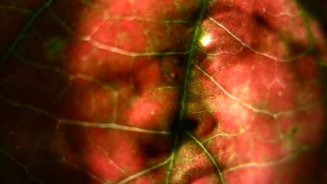 vídeos de stock e filmes b-roll de hd 1080 i ousadia abstrato através de folha com cara de homem - focagem difusa