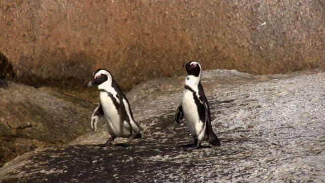 1080 i hd jackass penguins 2 - republik südafrika stock-videos und b-roll-filmmaterial