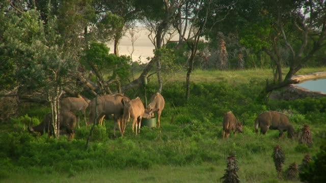 hd 1080 i kudu grasen in südafrika - wasserloch stock-videos und b-roll-filmmaterial