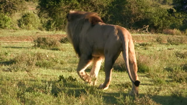 hd 1080i lion in south africa 7 - male animal stock videos & royalty-free footage