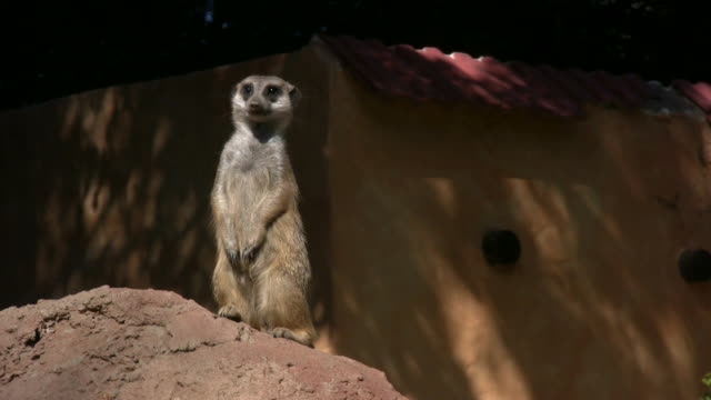 1080i meerkat in south africa 4 - audio available stock videos & royalty-free footage