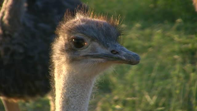 vidéos et rushes de 1080 i tête d'autruche à oudtshoorn afrique du sud - oiseau qui ne vole pas