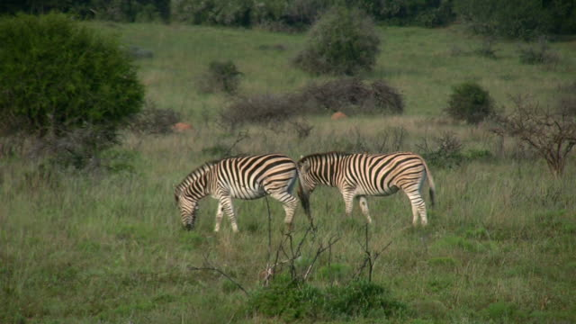 HD 1080i Pair of Zebra in South Africa