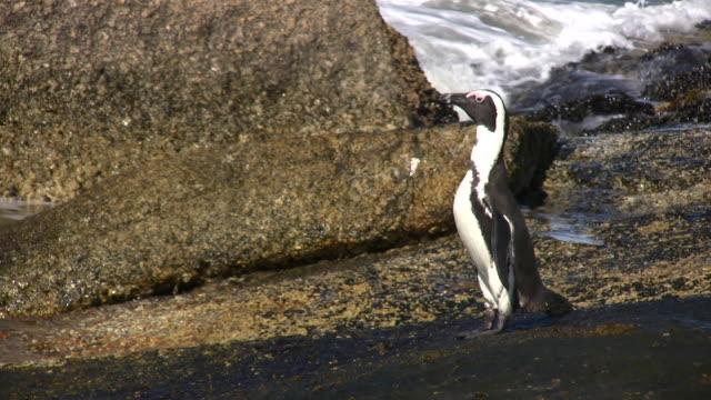vidéos et rushes de 1080 i penquin va en surf - oiseau qui ne vole pas