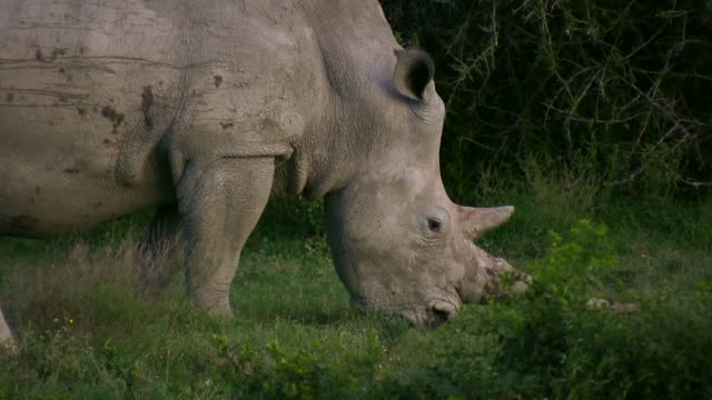 hd 1080i rhinoceros 19 - pursuit sports competition format stock videos & royalty-free footage