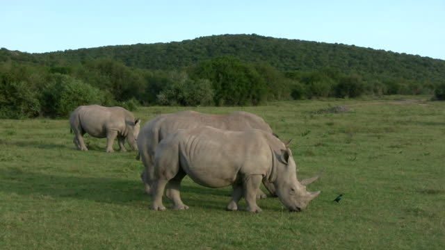hd 1080i rhinoceros 21 - pursuit sports competition format stock videos & royalty-free footage