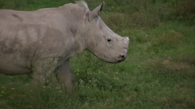 hd 1080i rhinoceros 3 - pursuit sports competition format stock videos & royalty-free footage